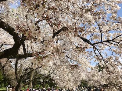 Live Englishオンライン英会話 – 東京は桜が満開を迎えています!