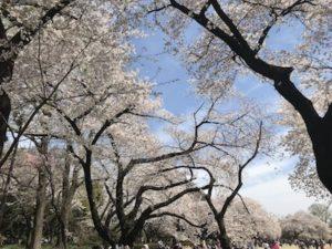 新宿区 お花見