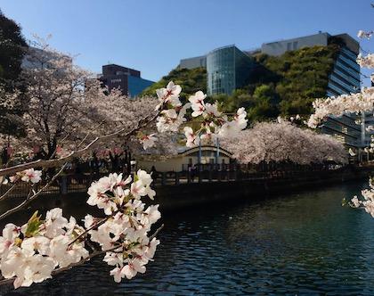 福岡在住アメリカ人女性、Judi先生の初お花見体験